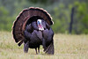 Wild Turkey (Meleagris gallopavo) (Tom) by Brown Acres Mark