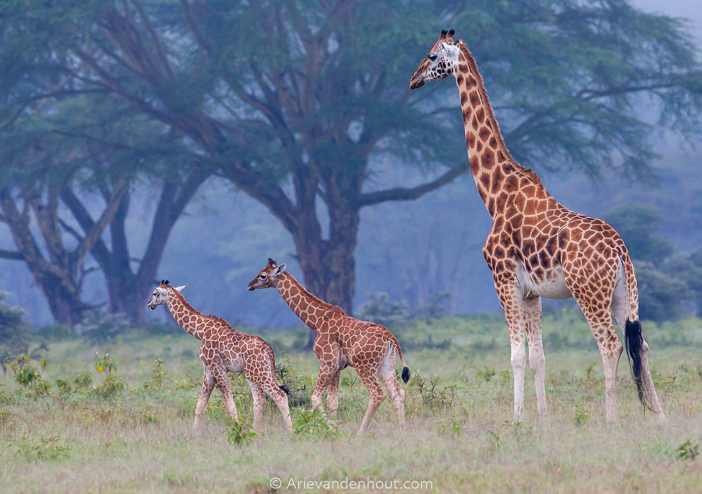 nubian giraffe endangered nubian giraffe the nubian giraffe nubian giraffe facts nubian giraffe giraffes
