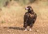 Cinereous [Eurasian Black] Vulture (1 of 5) by tickspics 