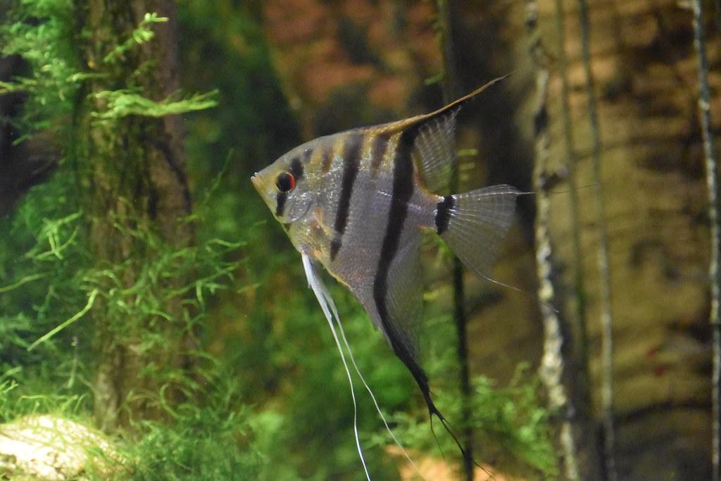 freshwater angelfish 2NAB 3.17   Laura Wolf   Flickr
