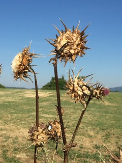 20170611_4687-thistle-heads | by abelpc_5355