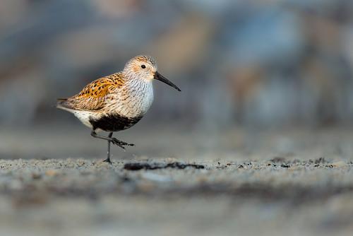 shorebird delawarebay beach wildlife nature bird breedingcoloration sand dunlin migration reedsbeach newjersey unitedstates us nikon d800e