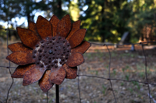 Rusty Sunflower, Forest Ranch Cemetery 2