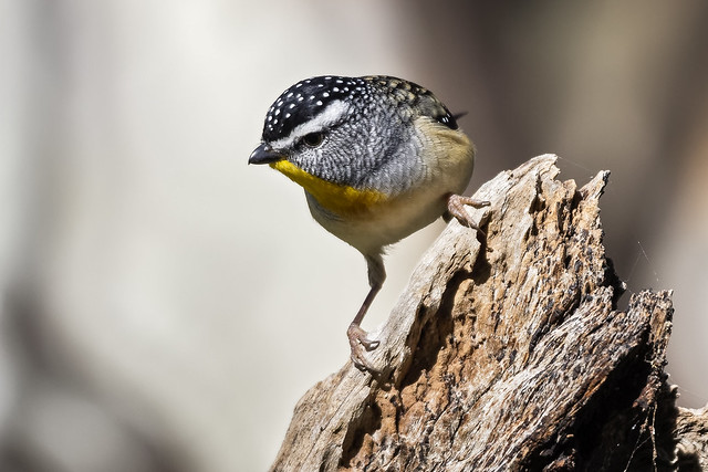 Spotted Pardalote 2017-05-04 (60D_0356)