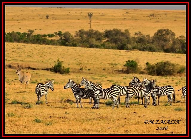 HERD OF COMMON ZEBRAS (Equus burchelli).....AND ELAND (Tragelaphus oryx).....MASAI MARA......SEPT 2016
