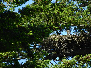 may 23 2017 15:04 - parent Eagle brooding/incubating | by boonibarb