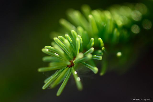 Evergreen Needles...