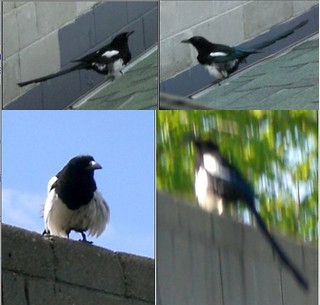 Magpie-Fluffy-Quad | by WillowBear