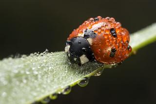 Ladybug, Ladybird | by Artur Rydzewski