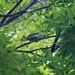 ホンセイインコ(Indian Rose-necked Parakeet)