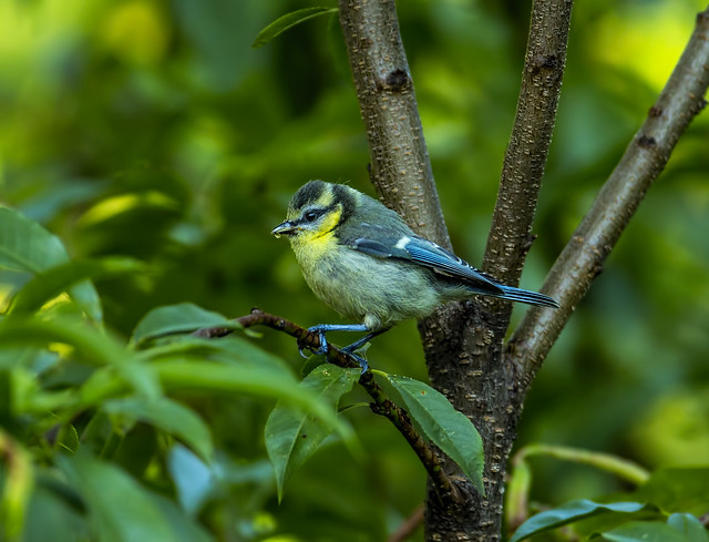 Eurasian blue tit - youngster