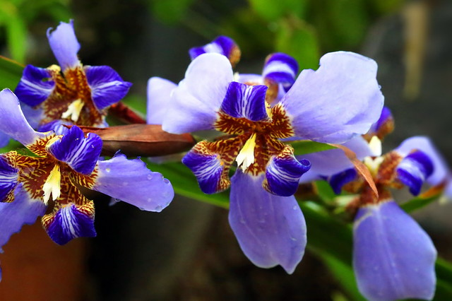 Trio Iris bleu à Tahiti