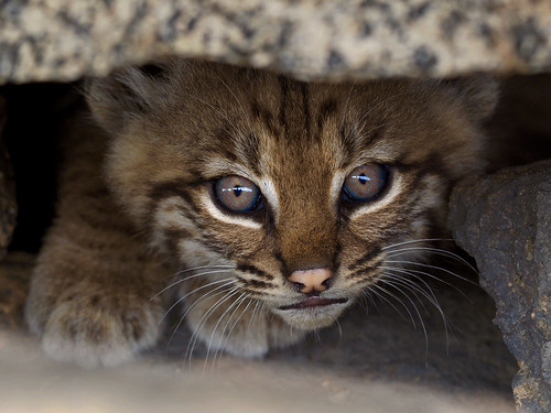 Bobcat Kitten (Lynx rufous) | by NicholasHess