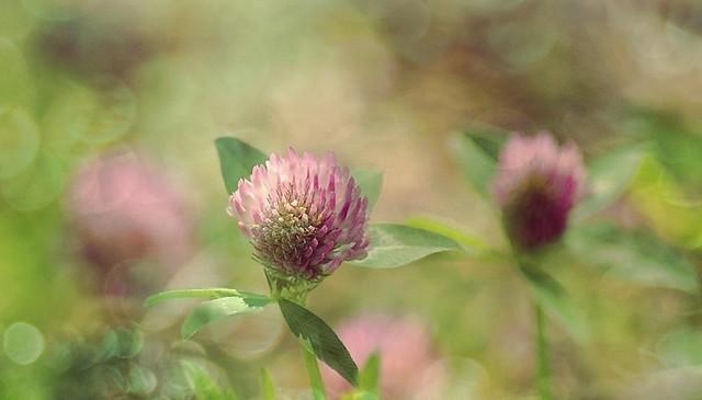 Fleurs de trèfles
