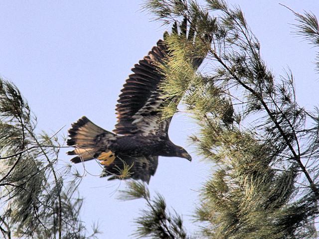 Bald Eagle juvenile2 3-20170608
