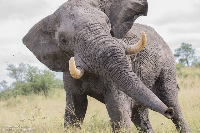 Male Elephant - Loxodonta Africana