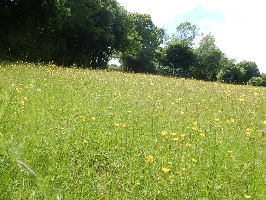 Buttercup meadow Robertsbridge to Battle