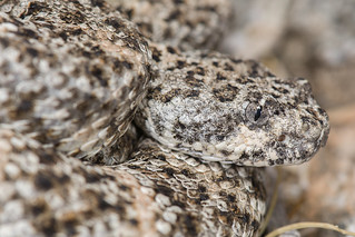 Southwestern Speckled Rattlesnake | by Jeremy Wright Photography