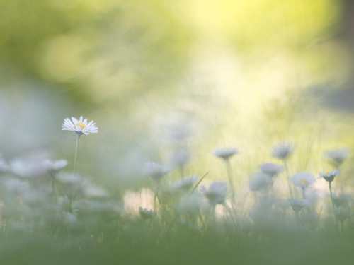 A meadow full of daisies | by A_Peach