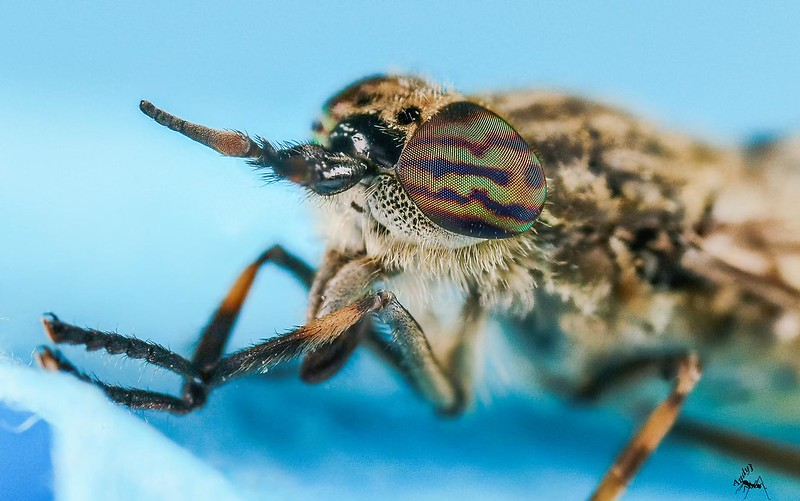 horse-fly1