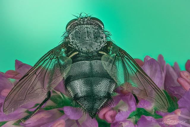 Mo, 2017-06-19 15:20 - A beautiful rear can also endear Back of a fly.   Auch ein schöner Rücken kann entzücken ;-) Hinterteil einer Fliege