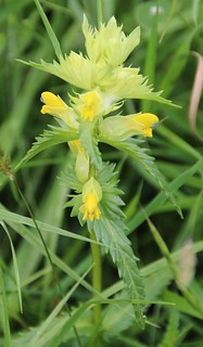 Yellow Archangel | by http://wildaboutthebritishisles.uk