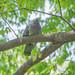 カワラバト(rock dove)