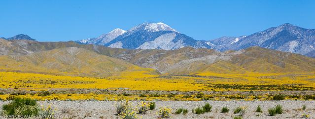Spring wildflowers on the way to Joshua Tree National Park