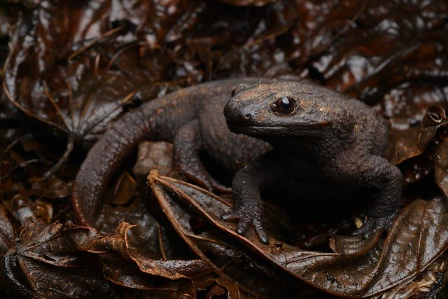 Anderson's crocodile newt (Echinotriton andersoni)