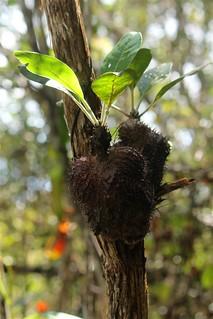 Ant Plant | by eazytraveler