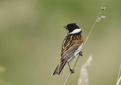 IMG_2891 Reed Bunting | by TonySutton410