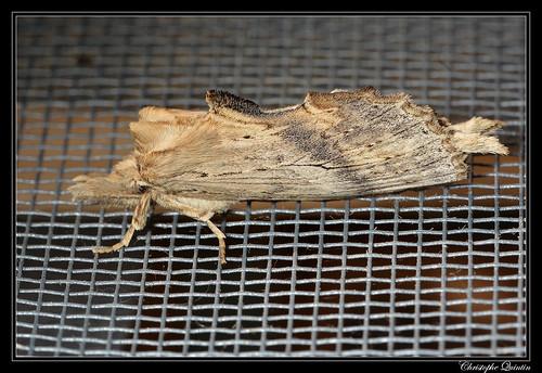 Le Museau (Pterostoma palpina)