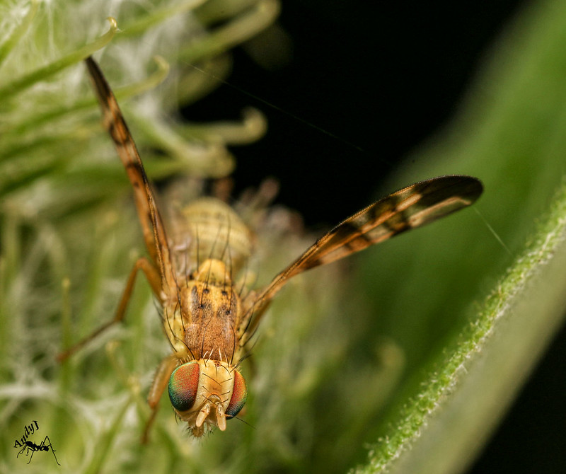 Banded Burdock Fly (Terellia tussilaginis)
