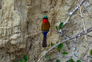 Red-throated bee-eater | by supersky77