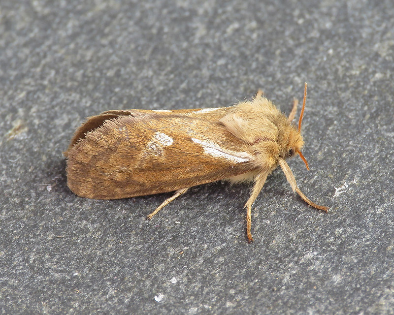 3.002 Common Swift - Korscheltellus lupulina