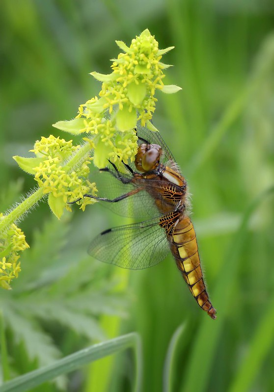 Boad bodied chaser Female