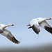 Snow Geese by Daniel Behm Photography