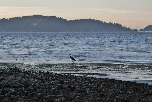 greatblueheron heron pugetsound puget sound washingtonstate beach washington water sunset bird pretty