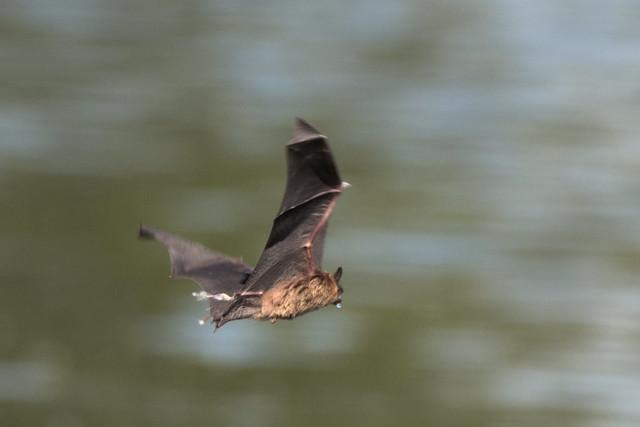 Chauve souris --- Bat ---      Quirópteros