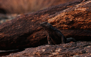 Chuckwalla (Sauromalus ater) | by phl_with_a_camera1