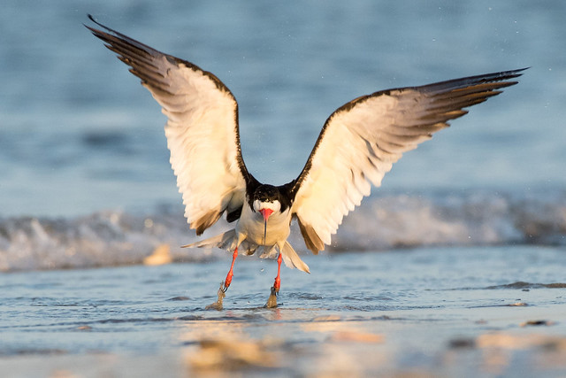 Black Skimmer Take-off