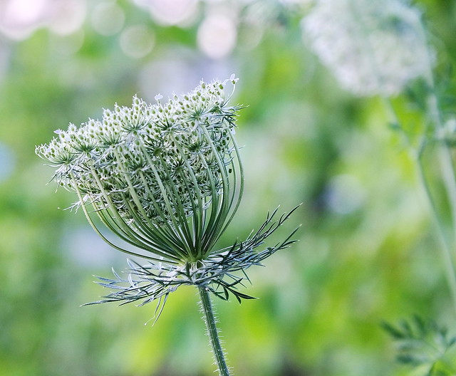 Queen Anne's Lace seed-head