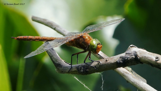 Norfolk Hawker - front view