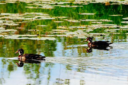 Wood Ducks | by B.K. Dewey