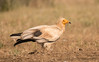 Egyptian Vulture (3 of 4) by tickspics 