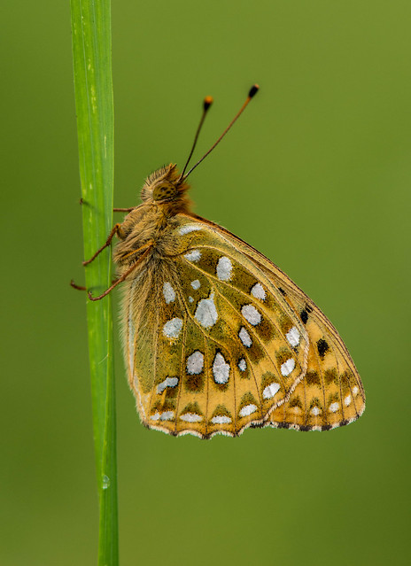 Dark Green Fritilary