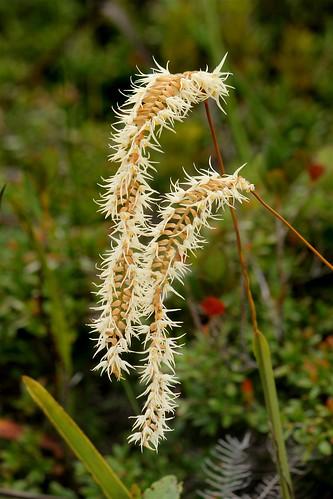 Dendrochilum kopfii | by eazytraveler