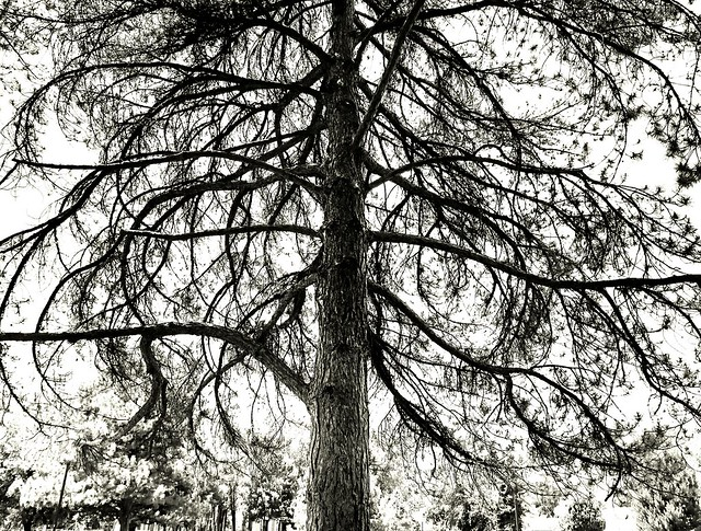1 Old Tree BW