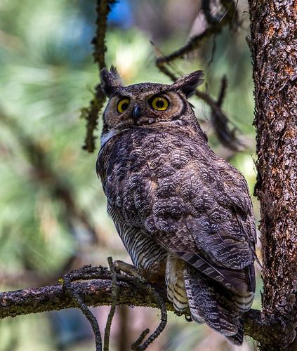 greathornedowl hornedowl tigerowl owl hootowl bubovirginianus bubo strigidae typicalowl trueowl nigelje okanagan bird