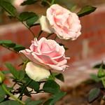 玫瑰花 - 翡翠珍珠